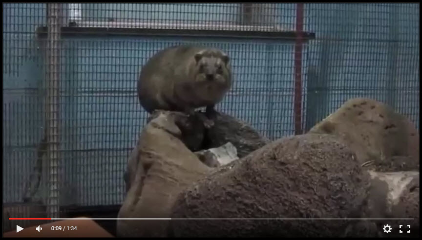 rock-hyrax-video